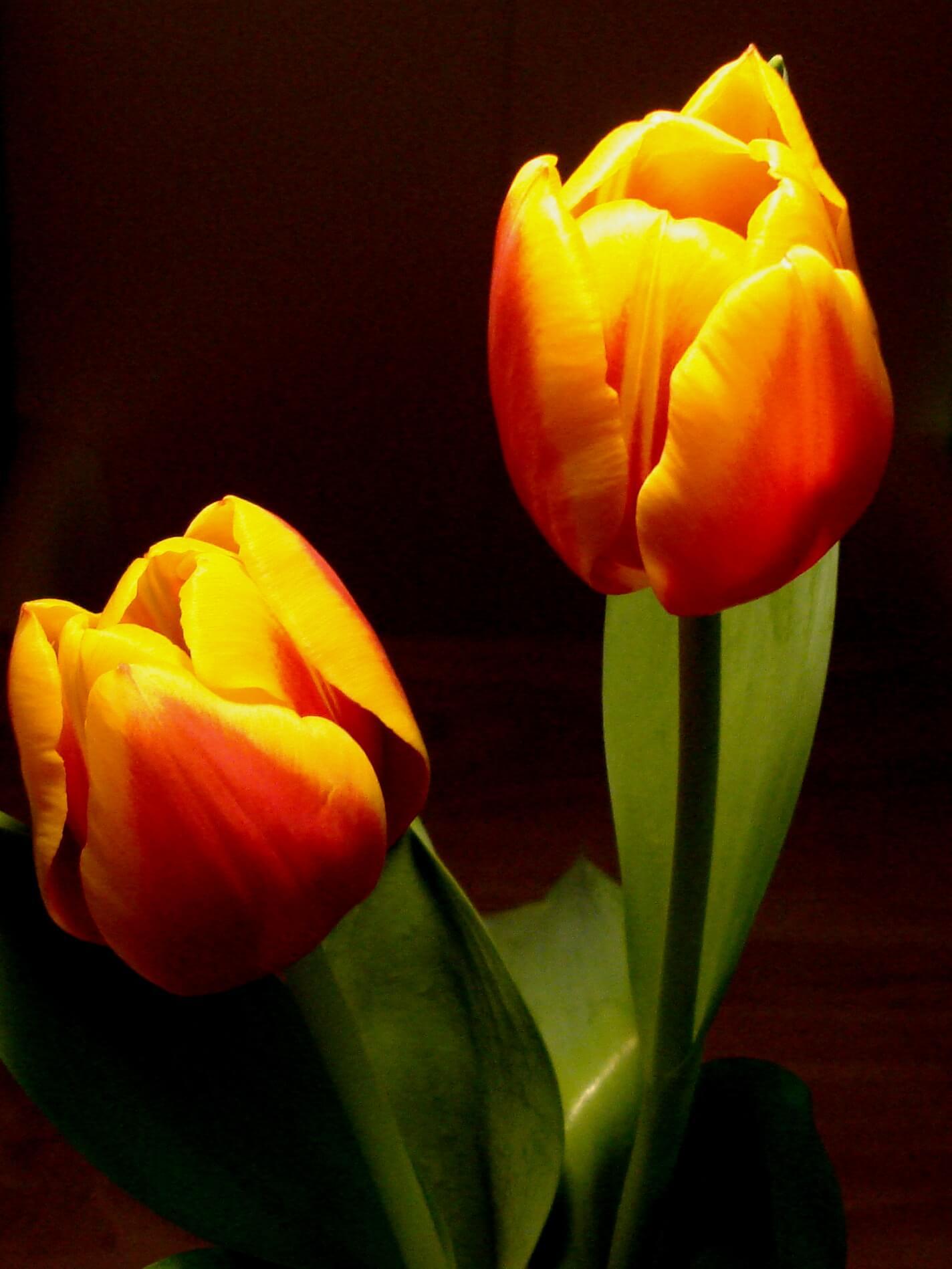 Tulipa Ank Schulten